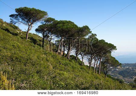 Mountain Slope With Stone Pine Trees - Pinus Pinea