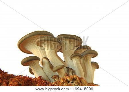 Oyster mushroom (Pleurotus ostreatus) young mushrooms on substrate isolated against white background