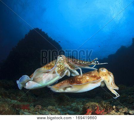 Pair Pharaoh Cuttlefish mating