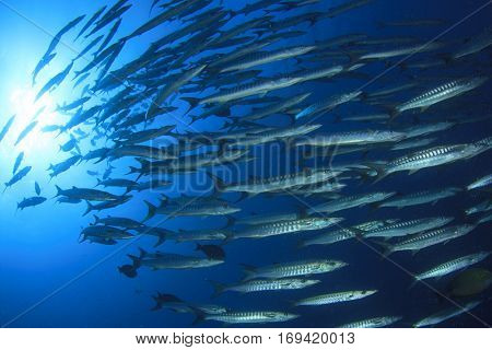 Barracuda fish school