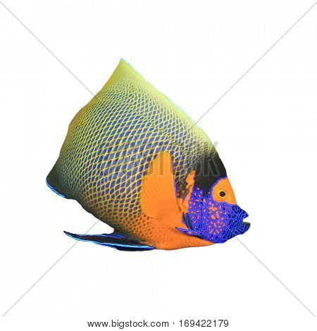 Blue-cheek Angelfish. Tropical fish isolated on white background
