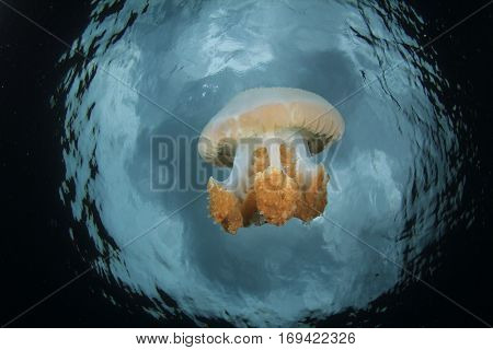 Large mozaic jellyfish
