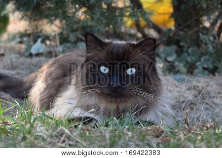 Blue-eyed brown Rag-doll cat relaxing on the grass  outoors