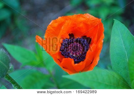 Pretty flowering orange oriental poppy flower blossom.