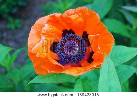 Flowering orange Oriental poppy flower blossom in a garden.