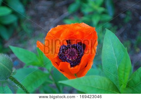 Pretty flowering orange poppy flower blossom in a garden.
