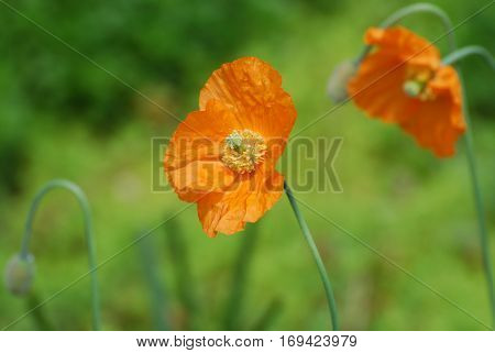 Gorgeous California poppy flower blossom in a garden.