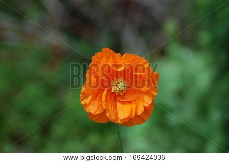 Blooming perfect orange California poppy flower blossom in a garden.