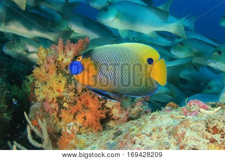 Angelfish tropical reef fish