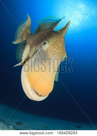 Fish portrait Yellowmargin Triggerfish