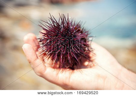 Sea urchins on human hand, Sardinia island, Italy