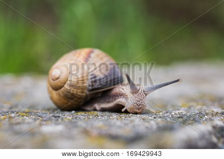 Snail crawling on the pavement outside. Shellfish. Mollusk with a spiral shell. Animale. Travel in daylight.