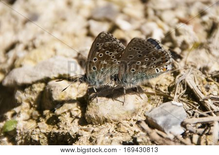 Two tiny Adonis Blue butterflies Lysandra bellargus sitting side by side on a lump of chalk in Dorset with wings closed and facing left