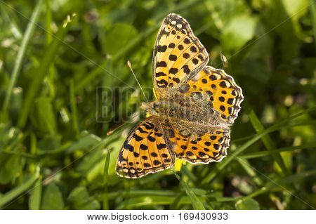 Queen of Spain Fritillary butterfly Issoria lathonia sitting on a blade of grass with wings open