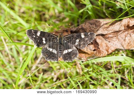 Second brood Map butterfly Araschnia levana basking on dead leaf in sunshine with wings open