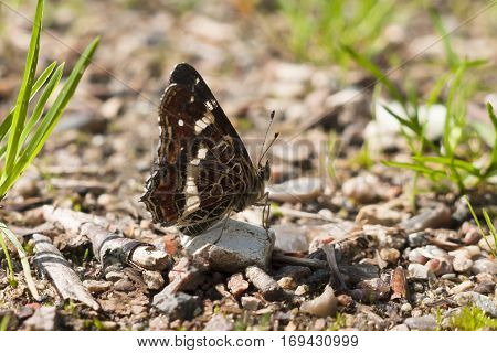 Second brood Map butterfly Araschnia levana on stone on the ground facing right with wings closed