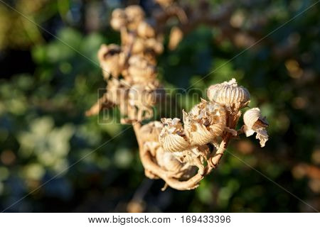 Dry flower buds in the mountains near Monterey California.