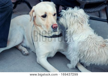 Beautiful Labrador retriever and cute maltese dog playing together
