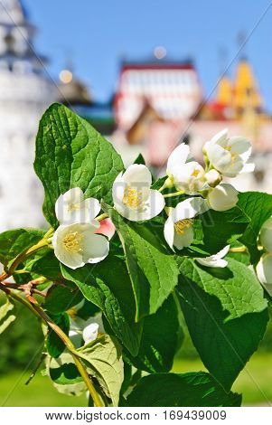Blooming Mock orange shrub (Philadelphus) near the Izmailovo Kremlin in Moscow