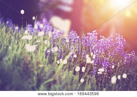 Spring Wildflowers Sunset Scenery. Beautiful Mountain Wildflowers. Olympic Peninsula American Northwest.