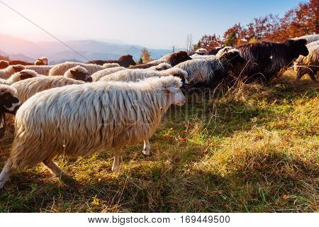 flock of sheep grazing on the slope of the mountains, Carpathians Ukraine