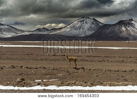 vicuna looking at camera with snow-capped Andes as background