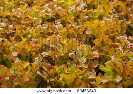 agriculture, beauty, cameron, closeup, farm, farming, field, food, fresh, garden, gardening, green, growth, healthy, hydro, hydroponic, leaf, natural, nature, nutrition, organic, phonic, plant, plantation, salad, vegetable, vegetarian, red oak