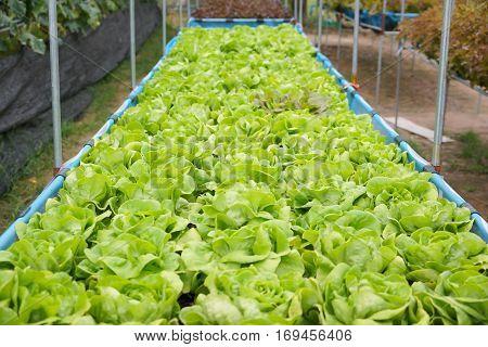 Fresh Butterhead vegetable in the farm / agriculture