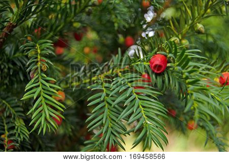 View of the berries on a evergreen yew tree latin name Taxus baccata in a shady spot in early autumn England