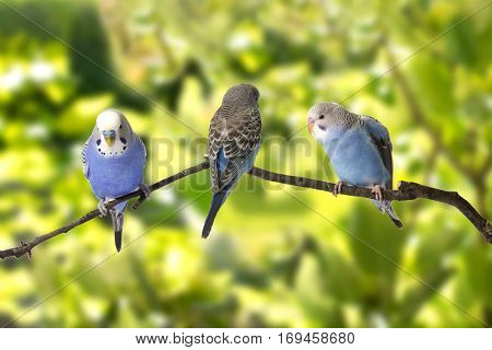 Young Budgies Blue And White Are At Roost On A Green Background.