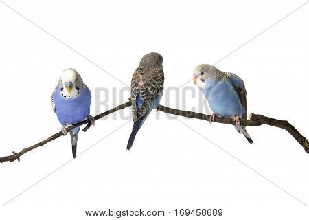 Young Budgies Blue And White Are At Roost On A White Background, Isolated.