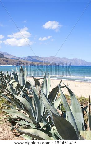 Agave plants growing by the seashore on a beach in Sicilys coastline