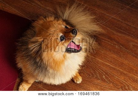 Spitz, dog, puppy, doggy pomerian yawns with very tired view