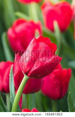 Tulip. Beautiful Bouquet Of Tulips. Colorful Tulips.