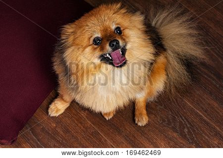 The funny, spitz, puppy, doggy, dog is smiling at you with interest