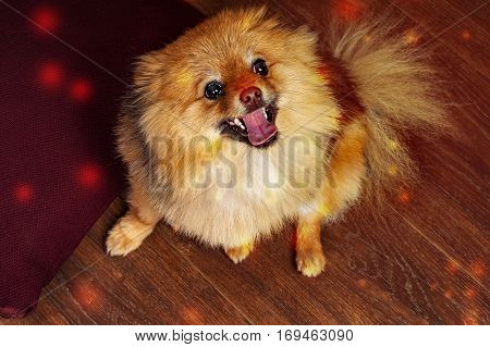 The funny, spitz, puppy, dog, doggy is smiling at you with interest and produces sparks from the mouth