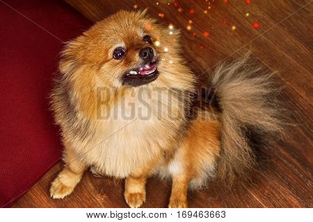 The spitz with open mouth is looking up and lets out sparks