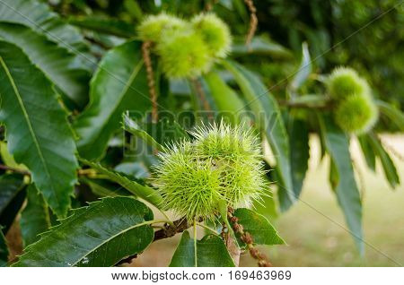 Close up view of the spikey seed pods of a Sweet Chestnut tree latin name Castanea sativa in the early autumn in England.