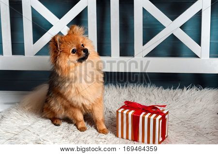 The pomeranian spitz, puppy, dog, doggy was siting at the plaid and looking up with presen