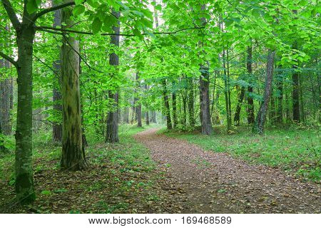 Country road in beautifull forest covert. Nature trees in forest.