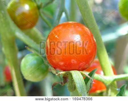 Close-up of a ripening orange red cherry tomato in vegetable garden
