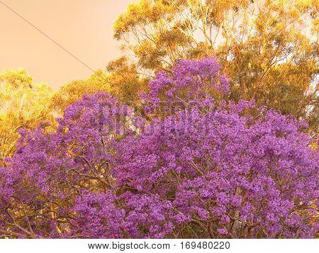 Purple Jacaranda tree in bloom blossom garden plant
