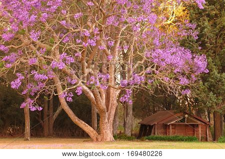 Purple Jacaranda tree in bloom blossom garden plant with small log chapel cabin