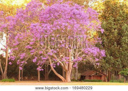 Purple Jacaranda tree in bloom blossom garden plant with small log chapel cabin