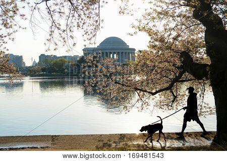 Washington DC in Spring - Jefferson Memorial during Cherry Blossom Festival