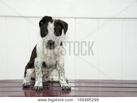 Black and white puppy with floppy ears sitting on a dark wood deck white fence background looking directly at viewer. Curious