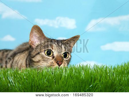 Young tabby cat peaking over grass to viewers right pupils dilated ready to pounce. Blue background sky with clouds