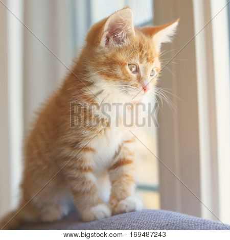 Cute orange kitten photographed with a specialty lens to get a soft dreamy effect.