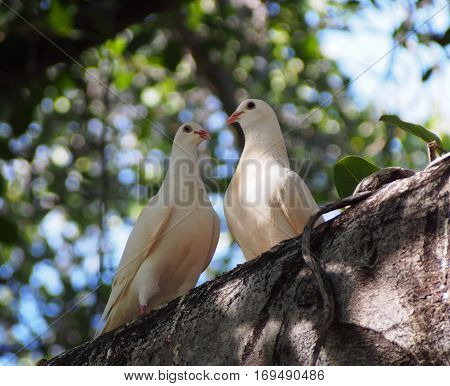 Release Doves at the banyan tree in Lahaina, Maui, Hawaii