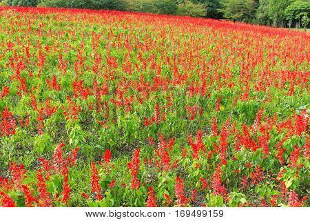 Red Salvia field